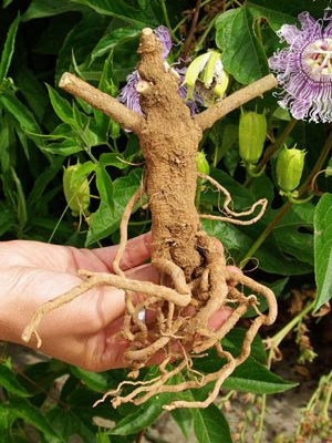 Ashwagandha_dried_root_X