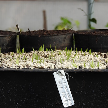 Aloe_arborescens_seedlings_350