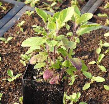 Amrita_Tulsi_potted_plant