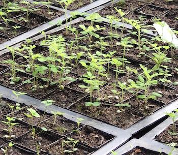 Astragalus_seedlings_flats