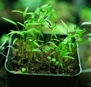 Culinary Herb Seeds