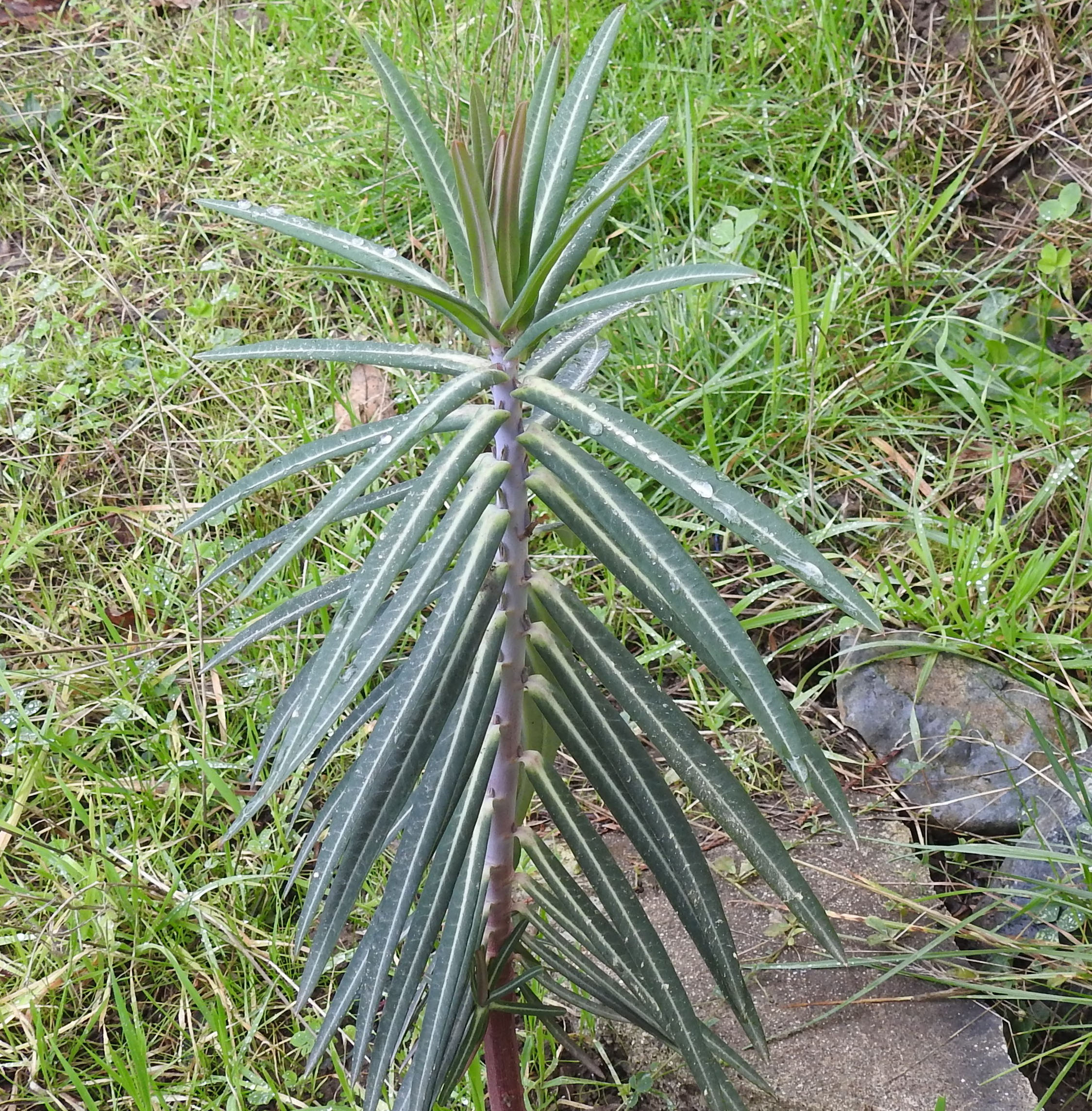 Gopher Spurge Euphorbia Lathyris Seeds Organic Strictly