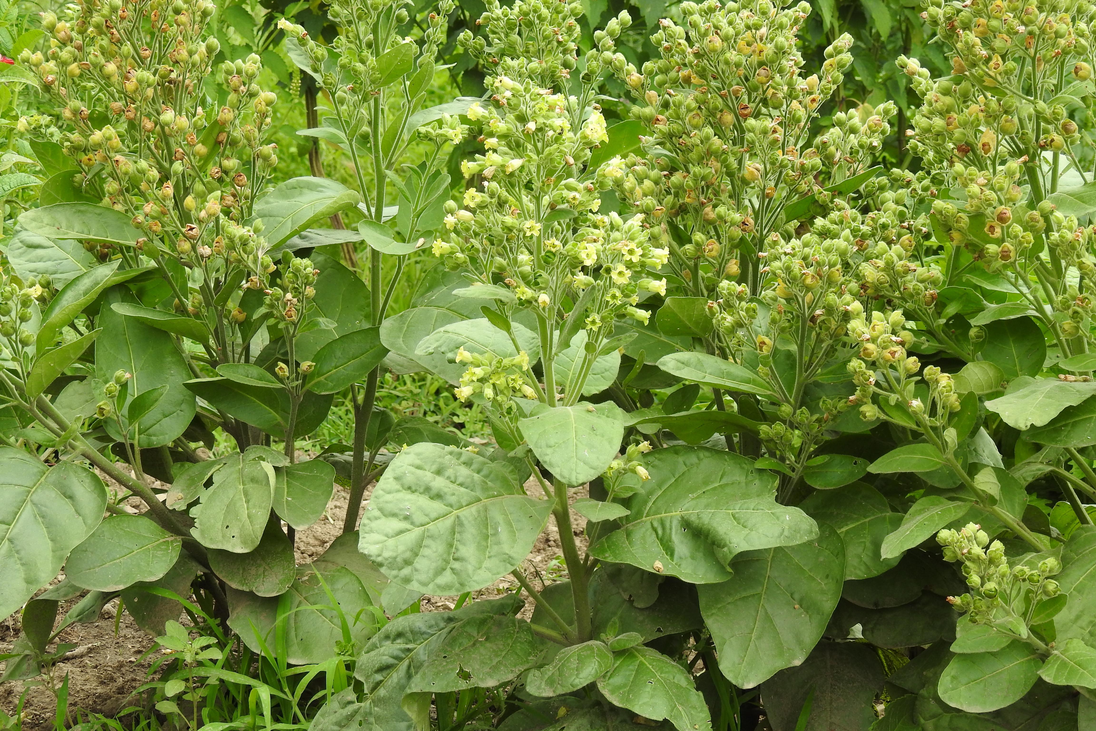 Tobacco, Hopi (Nicotiana rustica) seeds, organic