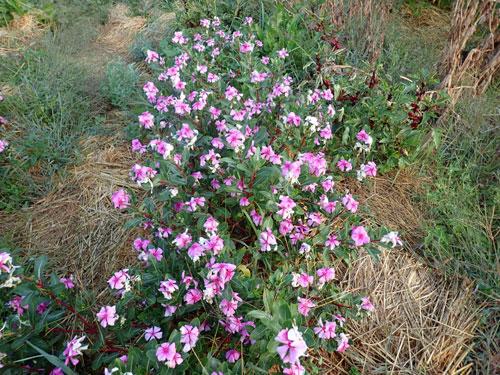 Periwinkle, Madagascar (Catharanthus roseus), packet of 20 seeds, organic
