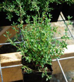 MEDICINAL HERB PLANTS R - Z
