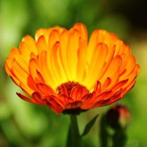 medicinal_herb_seed_c_d
