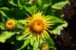 medicinal_herb_seed_h_k