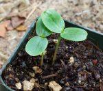medicinal_herb_seed_n_q