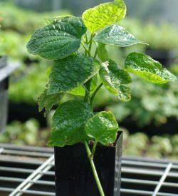 MEDICINAL HERB PLANTS L - Q