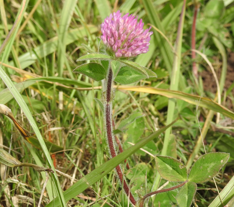 Organic clover