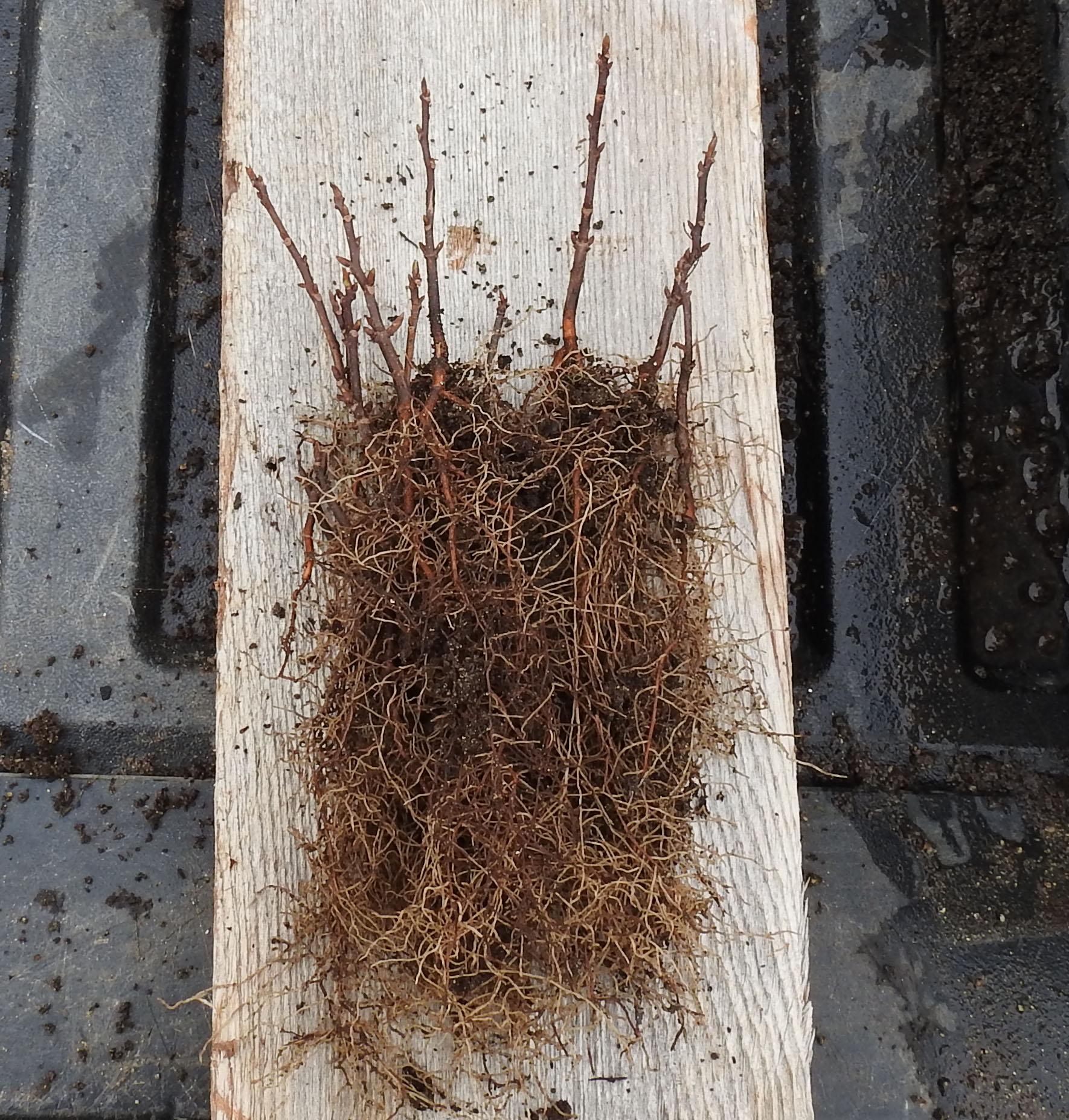 Schisandra, Official (Schisandra chinensis) seeds