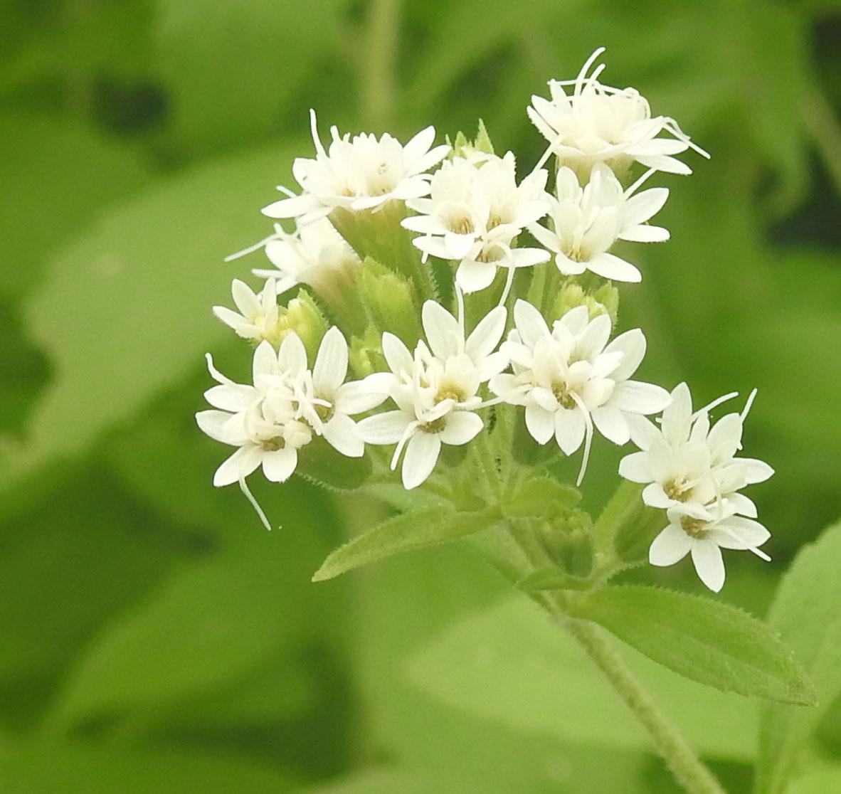 stevia stevia rebaudiana potted plant organic. Black Bedroom Furniture Sets. Home Design Ideas