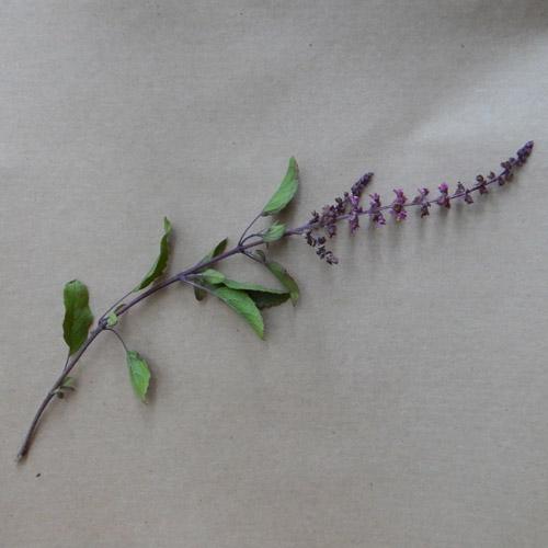 Tulsi, Amrita -- Holy Basil (Ocimum tenuiflorum) seeds, organic