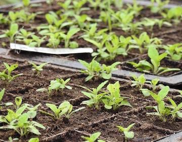 Wilde_dagga_seedlings_300