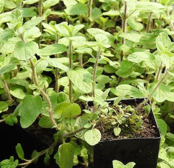 Zaatar origanum syriacum potted plant organic for Plante zaatar