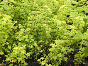 Lemon Scented Geranium Pictures