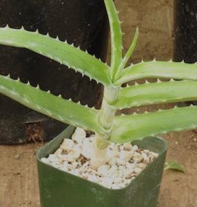 Aloe globuligemma (Globular Bud Aloe), packet of 20 seeds