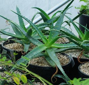 Aloe arborescens (Aloe arborescens) packet of 20 seeds