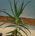 Aloe arborescens (Aloe arborescens) plant, organic