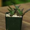 Aloe cameronii (Red Aloe, Ruwari Aloe), potted plant, organic