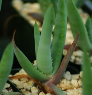 Aloe castanea (Cat's Tail Aloe), packet of 30 seeds
