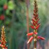 Aloe cryptopoda (Twerkleur Aloe), packet of 30 seeds