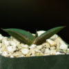 Aloe cryptopoda (Twerkleur Aloe), packet of 30 seeds