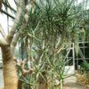 Aloe dichotoma (Quiver Tree), potted plant, organic