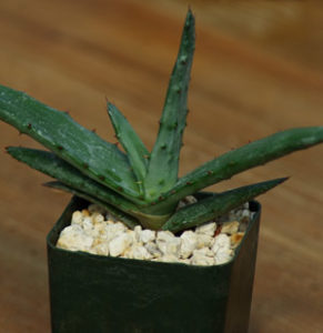 Aloe ferox (Cape Aloe) potted plant, organic
