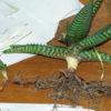 Aloe macrocarpa (Zebra Aloe) plant, organic