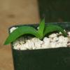Aloe maculata (Soap Aloe, Zebra Aloe), packet of 20 seeds