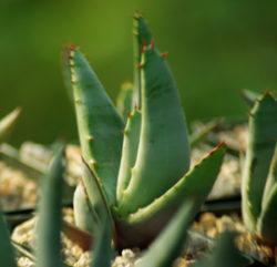 Aloe petricola (Fond of Stones Aloe), packet of 20 seeds