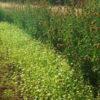 Buckwheat (Fagopyrum esculentum) Cover Crop Seed, Organic