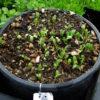 Burdock, Watanabe (Arctium lappa), packet of 30 seeds, organic