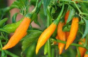 Pepper Seed Set (8 packets): Aji Colorado, Aci Sivri, Chilhuacle negro, Criolla Sella, Guajillo, Hot Paper Lantern, Thai Volcano and Romanian Sweet, organic