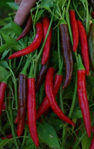 Pepper, Cayenne (Capsicum frutescens), packet of 50 seeds, organic