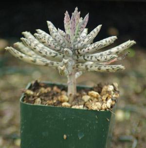Life plant chandelier bryophyllum delagoense organic strictly life plant chandelier bryophyllum delagoense organic aloadofball Choice Image