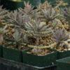 Life Plant, Chandelier (Bryophyllum delagoense), organic