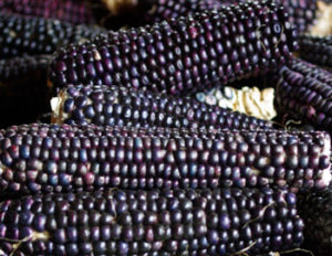 Corn, Hopi Blue (Zea mays), packet of 100 seeds, Organic