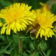 Dandelion, Wild (Taraxacum officinale), packet of 200 seeds, organic