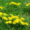 Dandelion, Wild (Taraxacum officinale), packet of 200 seeds, organic