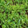 Fenugreek, Common (Trigonella foenum-graecum), organic