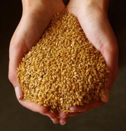 Flax, Golden (Linum usitatissimum), packet of 200 seeds, organic