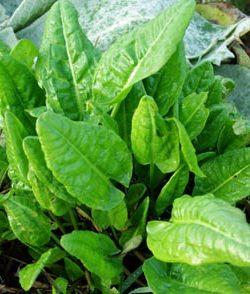 Sorrel, Garden (Rumex acetosa), packet of 100 seeds, organic