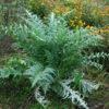 Artichoke, Globe (Cynara scolymus), packet of 30 seeds