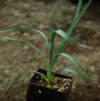 Yucca, Red (Hesperaloe parviflora), packet of 20 seeds