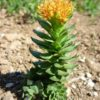 Rhodiola, Russian (Rhodiola rosea), packet of 100 seeds