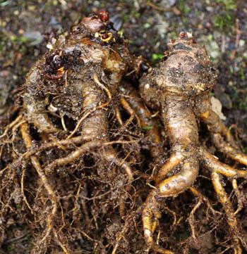 Rhodiola rosea roots