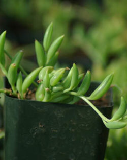 String of Bananas (Senecio radicans glauca) plant, organic