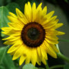 Dye Plants Seed Collection (7 seed packets): Chamomile, Dyer's; Elecampane; Madder; Marigold, French; Nettles; Our Lady's Bedstraw; Sunflower, Hopi Black Dye